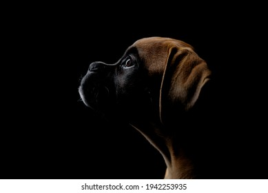 Cute boxer puppy attentive profile portrait isolated on black background