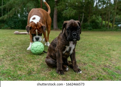Cute boxer puppy playing with adult boxer
