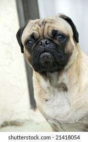 Cute Boy Pug
