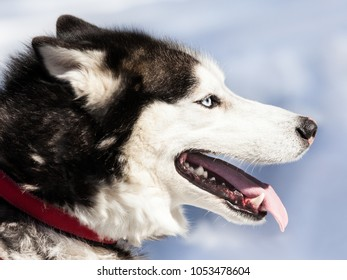 Cute breed siberian husky dog animal walking winter snow outdoor