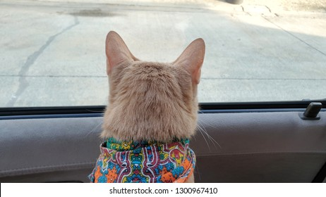 A cute bright orange cat wearing fabric collar looking out the window inside car when travel with owner on vacation.