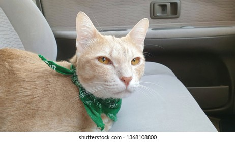 a cute bright orange cat wearing fabric collar sitting on the seat inside the car when travel with owner on holiday.