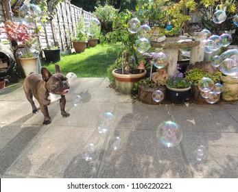 Cute Brindle French Bulldog, chasing soap bubbles.