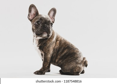 A cute, brindle French Bulldog puppy portrait looking back