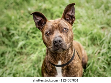 Cute, brindle Pit Bull or Staffordshire terrier, with tall pricked/perked ears, looks up at the camera outside of the animal shelter where he is waiting for his forever home.