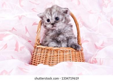 Cute british cat kitten on pink background