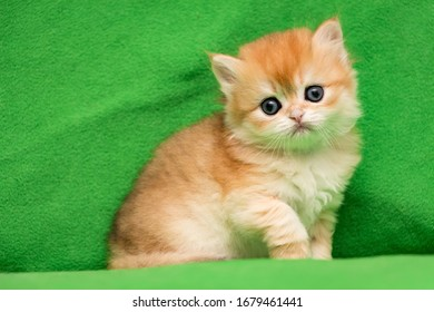 Cute British cat one month old, Golden kitten sitting on a green background and looking at the camera