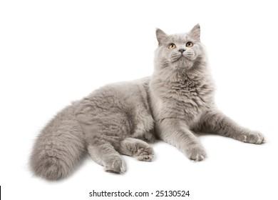 cute british kitten isolated