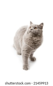 cute British kitten looking up isolated