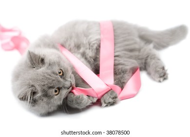 cute british kitten playing with pink ribbon isolated