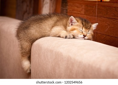 Cute British kitten sleeping on the couch. Little charming British kitten Golden color cute fell asleep on the back of the sofa dangling back foot