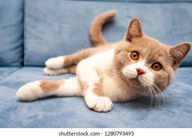 A cute British lilac white bicolour cat is lying on a blue sofa and looking straight at the camera