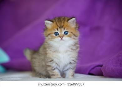 Cute British longhair kitten sitting on a purple background