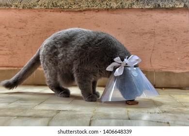 Cute British short cat wearing Elizabethan collar
