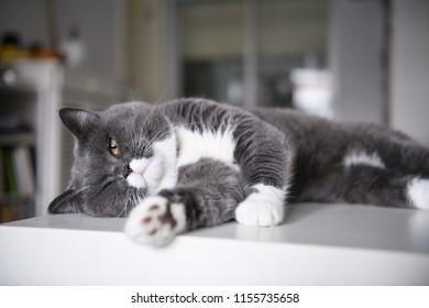 Cute British short hair cat, shot indoors