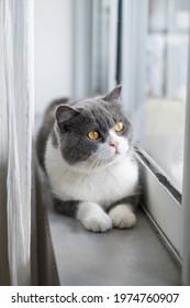 Cute british shorthair cat by the window