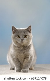 Cute british shorthair cat sitting in front of blue background