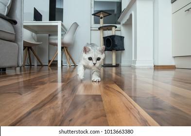 Cute british shorthair female kitten, three months old, black silver blue tabby whiskas cat is running on me.