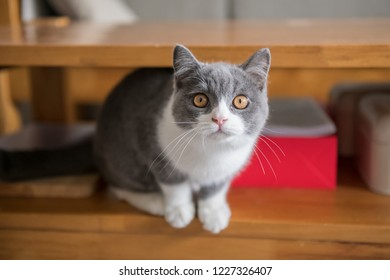 Cute British short-haired cat