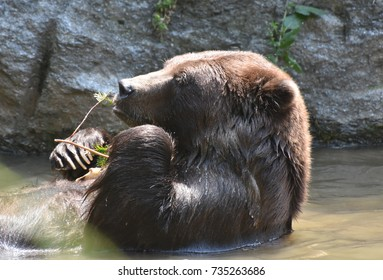Cute brown bear cooling off and relaxing on its back in the sparkling water