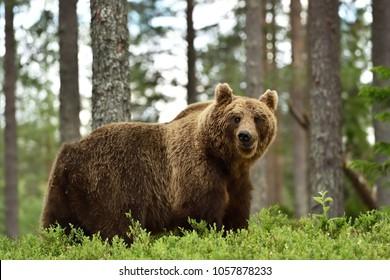 cute brown bear in forest. bear in forest landscape.