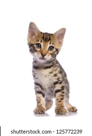 Cute brown Bengal kitten with big eyes  isolated on white background