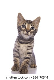 Cute brown Bengal kitten sitting isolated on white background