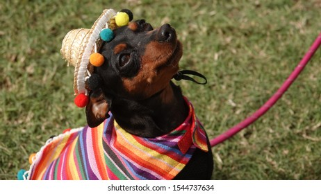 Cute brown and black chihuahua dog dressed up in traditional Mexican costume, with a striped poncho and a sombrero hat.