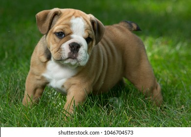 English Bulldog Puppy Images Stock Photos Vectors Shutterstock