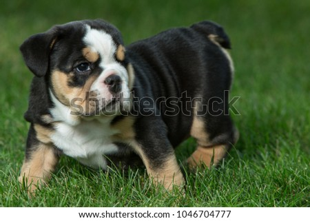 Cute Brown Black White English Bulldog Stock Photo Edit Now