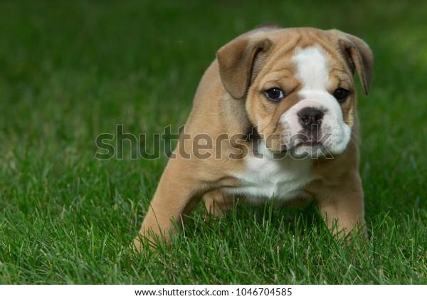 Cute Brown Black White English Bulldog Stock Photo (Edit Now