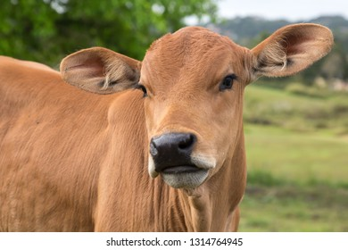 Cute brown bull calf with large ears