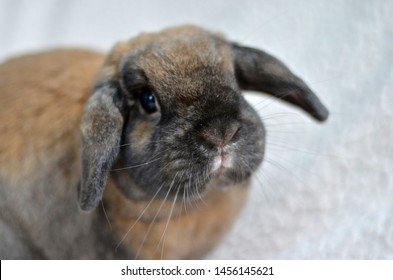 Cute brown bunny with lop ears