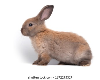 Cute brown bunny rabbit on white background