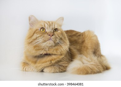 Cute brown cat pet sitting, adorable kitten looking at camera. furry mammal isolated on white background, long shot full body cat