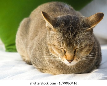 Cute brown cat resting on white cushion, eyes closed in the morning