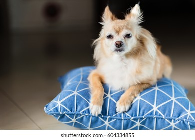 cute brown Chihuahua dog sitting on blue pilow and white tile ceramic  floor.