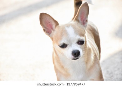 cute brown chihuahua dog smile with happiness