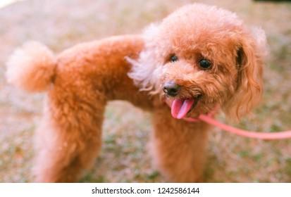 A cute brown colour maltepoo dog.