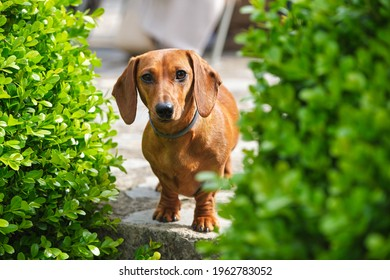 Cute brown Dachshund dog in collar standing near abundant green plants in sunny garden and looking at camera friendly