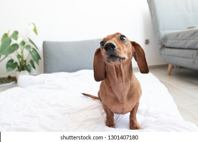 Cute brown dachshund on white bed close to camera with funny face
