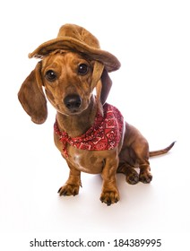 Cute brown Daschund puppy sitting on white background wearing cowboy bandana and hat