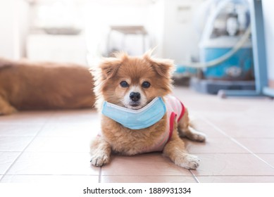 A cute brown dog wear a blue surgical mask to protect itself from disease