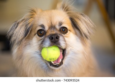 Cute brown dog with a yellow ball