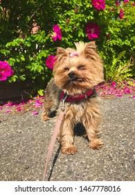 Cute brown female Yorkshireterrier dog