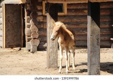 Cute brown foal on the farm.