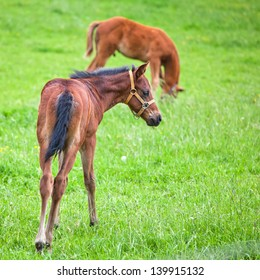 cute brown foal in the paddock