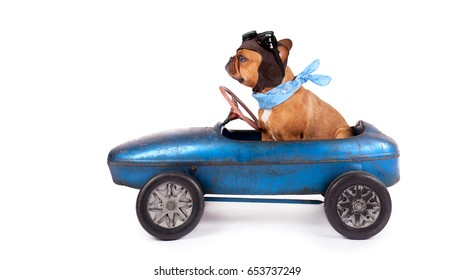 a cute Brown French bulldog with glasses on riding in a pedal car, isolated on white