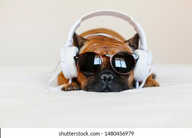 cute brown french bulldog sitting on the bed at home and looking at the camera. Funny dog listening to music on white headset. Pets indoors and lifestyle. Technology and music