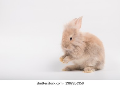 Cute brown furry bunny is standing, licking hands in the studio in a white background.